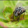 Dambordvlieg/Common flesh fly