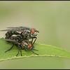 Dambordvlieg/Common flesh fly