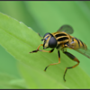 Gewone pendelvlieg/Brindled Hoverfly