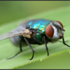 Groene vleesvlieg/common green bottle fly