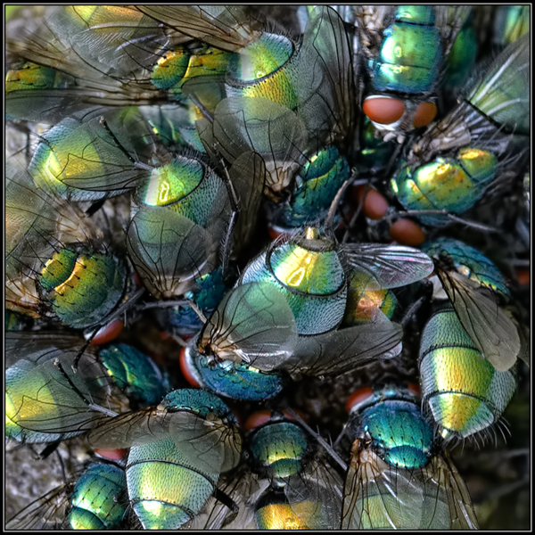 Groene vleesvlieg/Common Green Bottle Fly