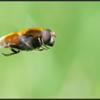 Hommelbijvlieg/Dronefly