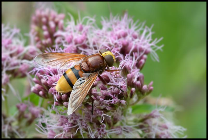 Hoornaarzweefvlieg /Hornet Hoverfly