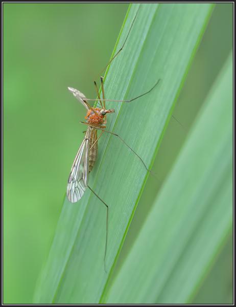 Langpootmug met mijt/Crane fly with mite