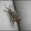 Paardendaas/Dark giant horsefly