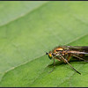 Poecilobothrus nobilitatus/Poecilobothrus nobilitatus