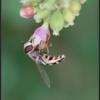 Witte halvemaanzweefvlieg/Pied hoverfly