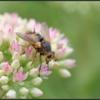 Woeste sluipvlieg/Tachinid Fly