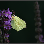 Citroenvlinder/Common brimstone