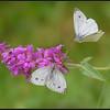 Klein Koolwitje/Small Cabbage butterfly