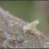 Beukenbladluis/Woolly beech aphid