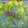 Bladpootrandwants/Western Conifer Seed Bug