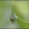 Groene Stinkwants(nimf)/Green stink bug(nymph )