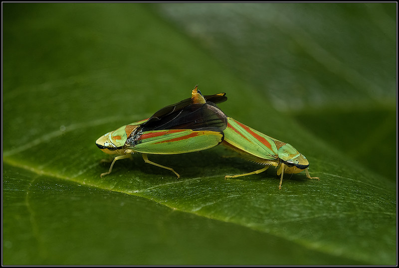 Rhododendroncicade/ Rhododendron leafhopper