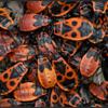 Vuurwants/Firebug