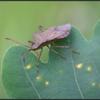 Zuringwants/Dock bug