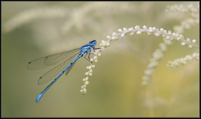 Watersnuffel/Common blue damselfly