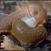 Gewone wegslak/European red slug