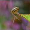 Witgerande tuinslak/White-lipped snail