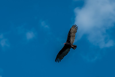 37 Vulture from El Chepe