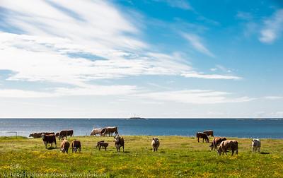 Andøya, nær Stave. Kyr på beide