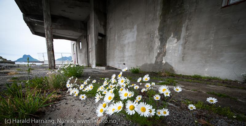 Lofoten juni 2013. Stamsund. Det gror blomster på et nedlagt (?) fiskemottak.