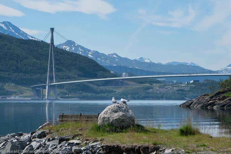 Hålogalandsbrua. To måker i forgrunnen. Foto fra Slåttvika, der det i sin tid var fergekai på sambandet Øyjord-Narvik. Foto 5. juli 2021.