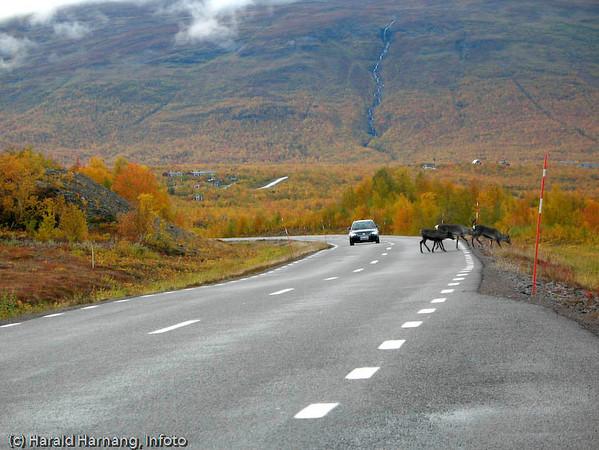 Rein på mellomriksveien mellom Kiruna og Narvik, her nær Abisko.