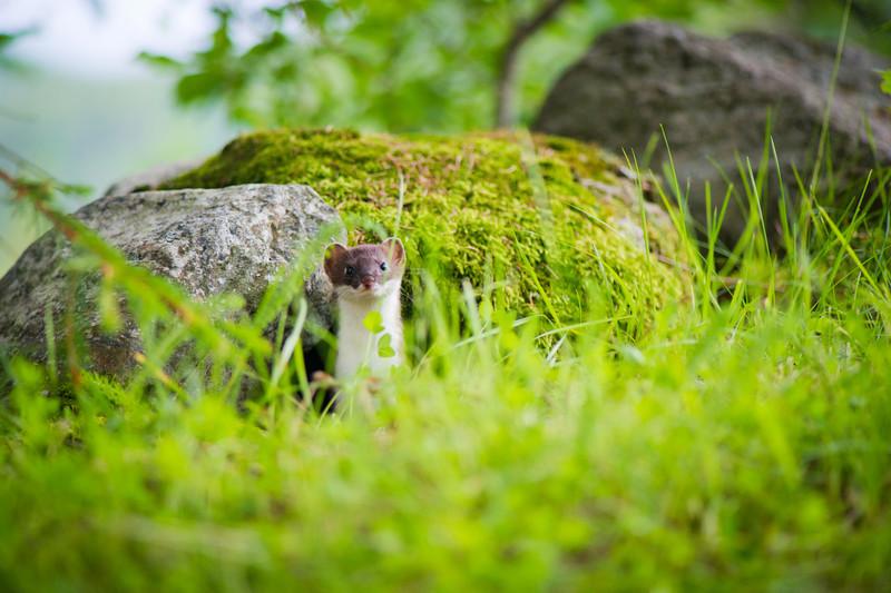 Røyskatt (Mustela erminea, dansk: lækat, svensk: lekatt)