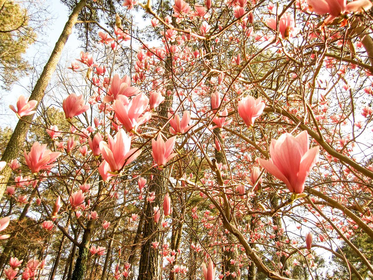 Magnolias dream