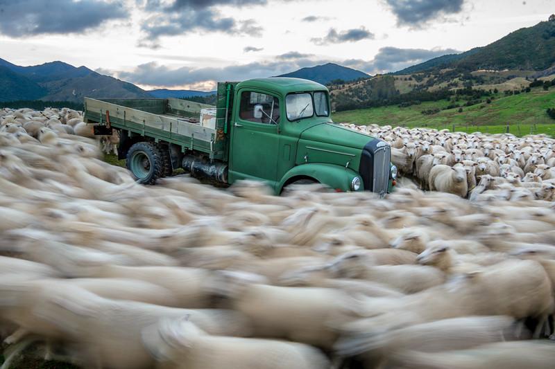 Sheep Vortex - New Zealand