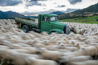 Sheep Vortex - New Zealand