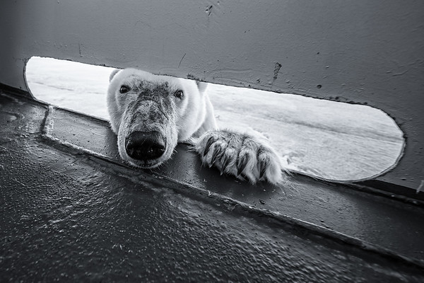 A polar bear, Ursus maritimus, pokes its head through the railing of a boat as it breaks through ice on the Greenland Sea.