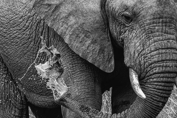Wild Water Elephant - Kruger