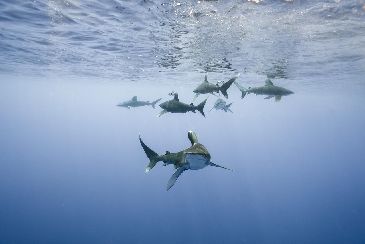 Oceanic Whitetip Sharks - Bahamas