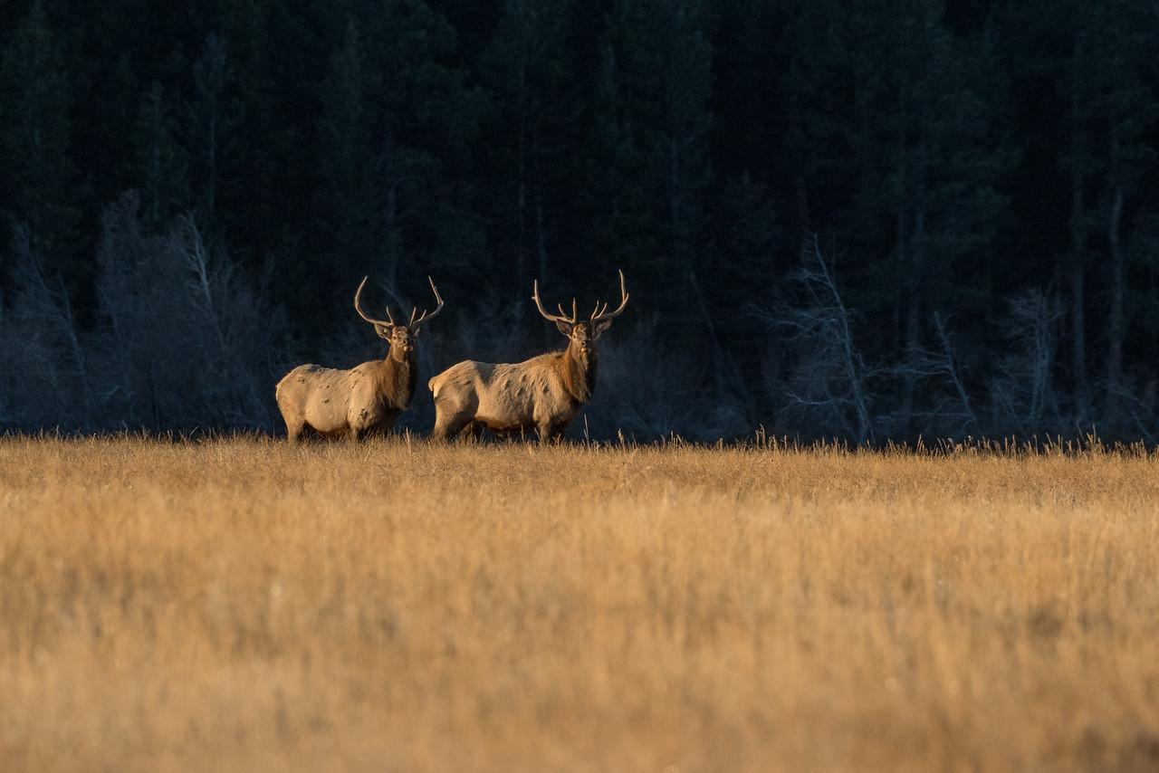 Bull Elks - Colorado