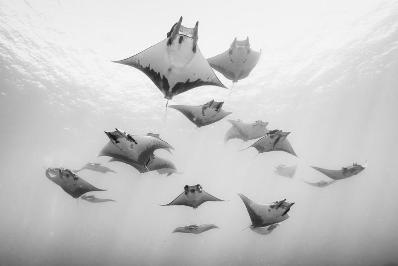 Devil Rays - Azores