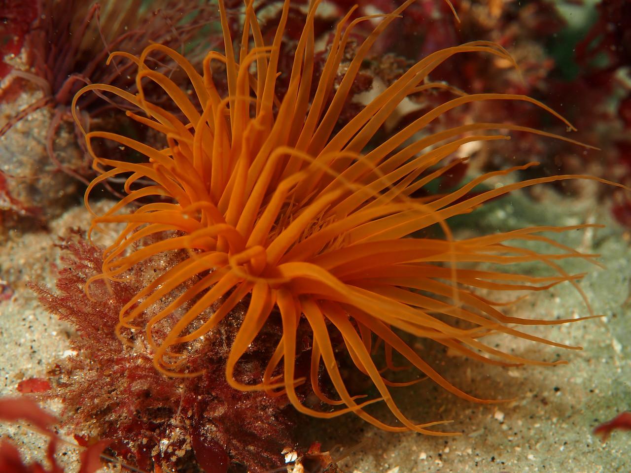 Tube-dwelling Anemone