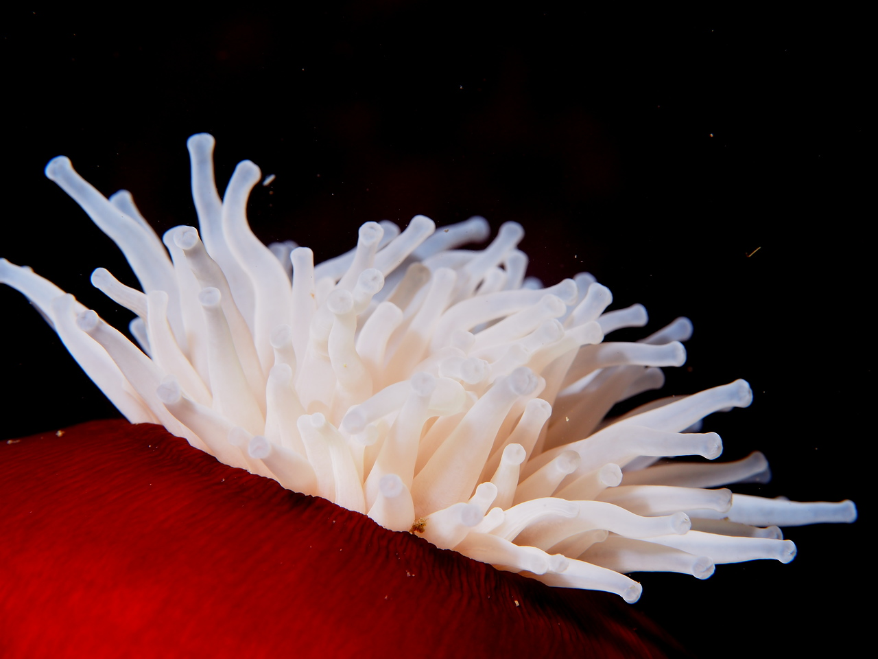 Fish-eating Anemone