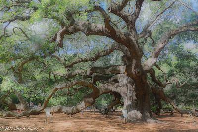 Angel Oak Tree 5-19-17