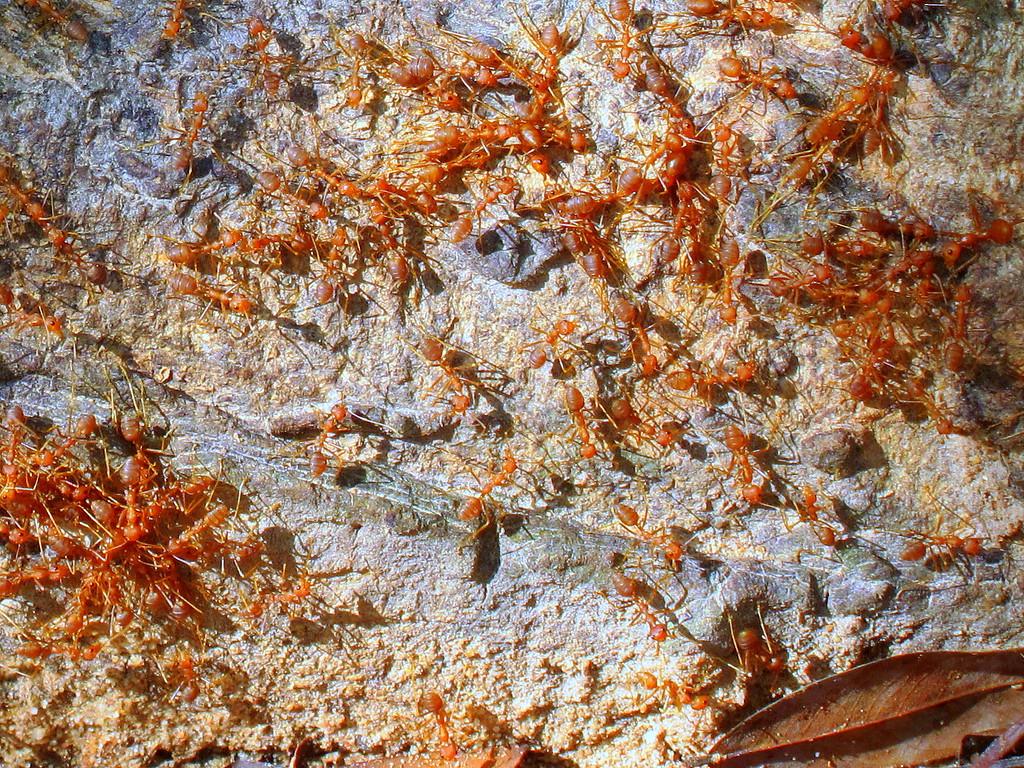 fire ants cambodia