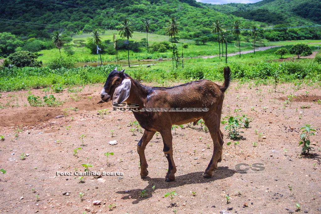 Filhote cabra