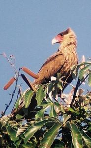 Gavião carcará (Polyborus plancus), Transpantaneira, 2003