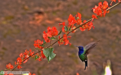 Beija flor de veste preta (Anthracothorax nigricollis)