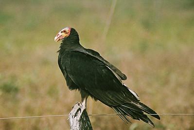 Urubu-de-cabeça-vermelha (Cathartes aura), Transpantaneira, 2003