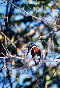 Martim-pescador-verde (Chloroceryle amazona), Pantanal, 2003