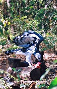 Harpia (Harpia harpyja), Zoo Cuiabá, 2003