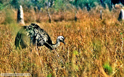 Ema  (Rhea americana), Transpantaneira, 2003