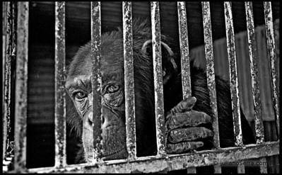 Chimpazé em circo