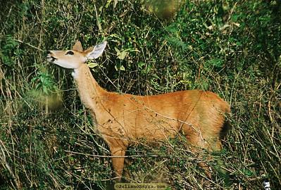 Cervo do pantanal (Blastocerus dichotomus), Transpantaneira, 2003